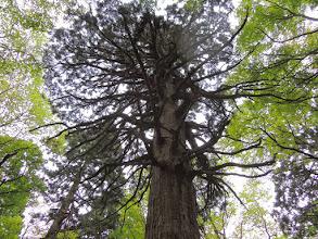 Photo: このあたりは天然林らしく、立派な木が多い。