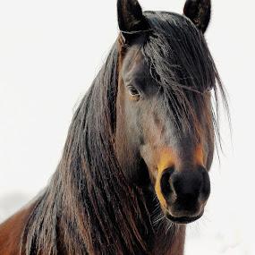 Billy Boy ! by Jan Siemucha - Animals Horses ( mane, horse, stud, portrait, closeup )
