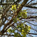 American Mistletoe