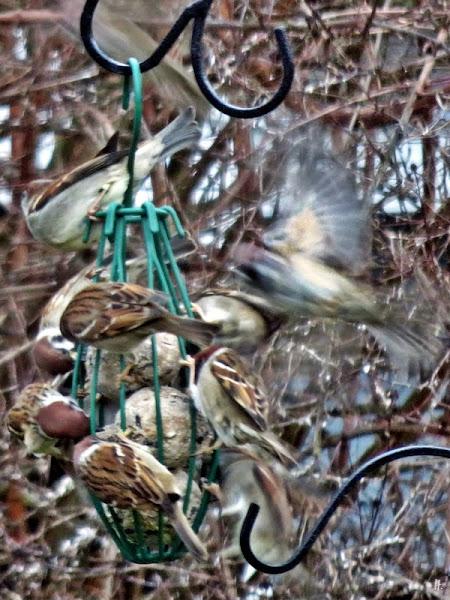 2019-01-08 LüchowSss Vögel im stürmischen Garten (7) Spatzen'knödel'