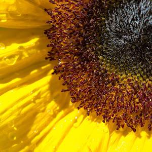 21 aug  2013 sunflower-3112-2.jpg