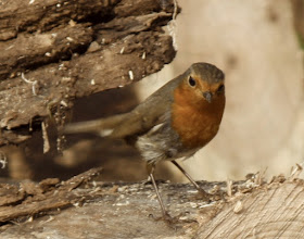 Photo: Erithacus rubecula (Rouge gorge)
