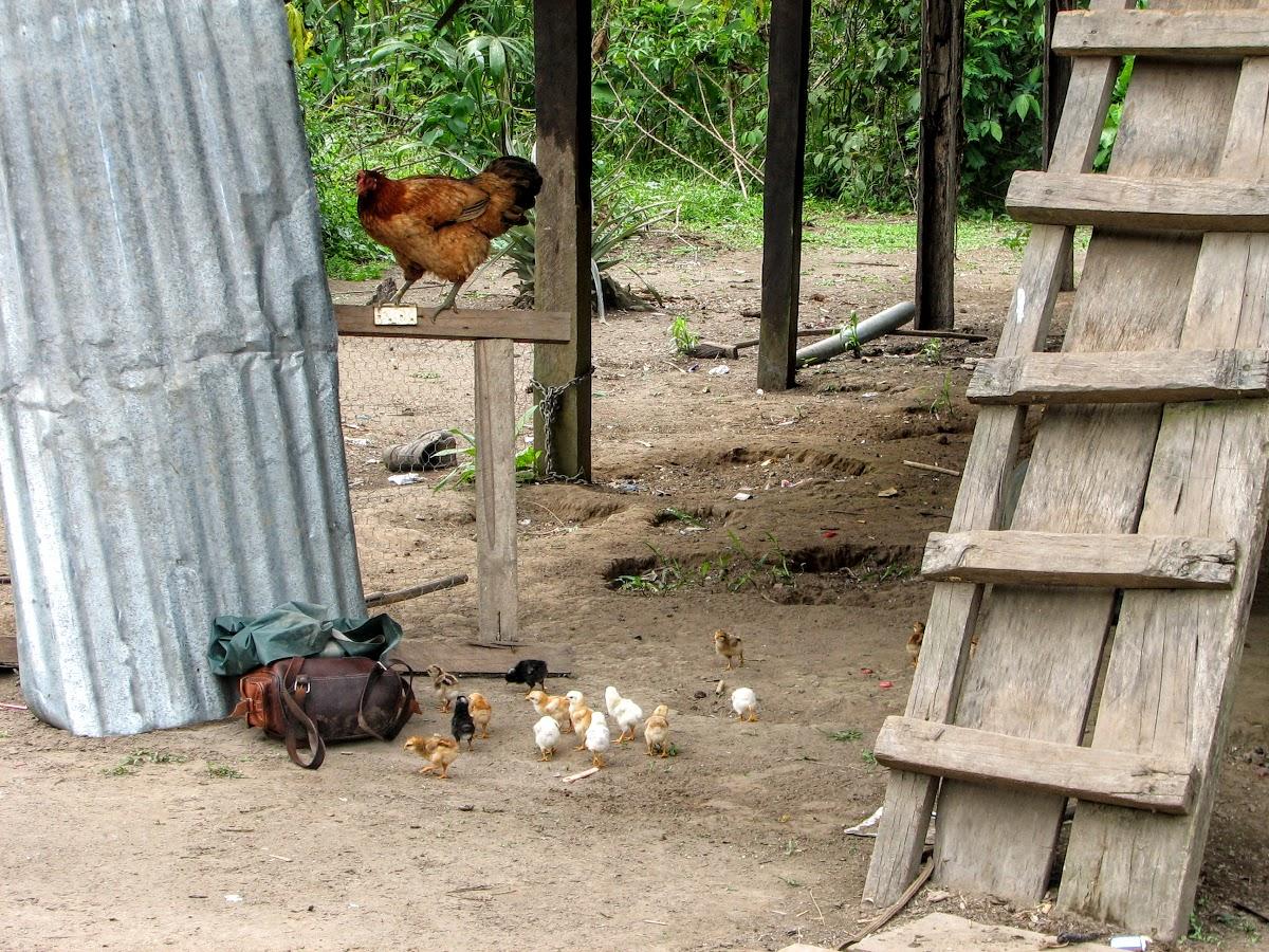 Chicken roaming freely