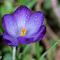 Purple Crocus 04 03 18.jpg