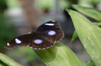 Photo: Great egg-fly butterfly (male)