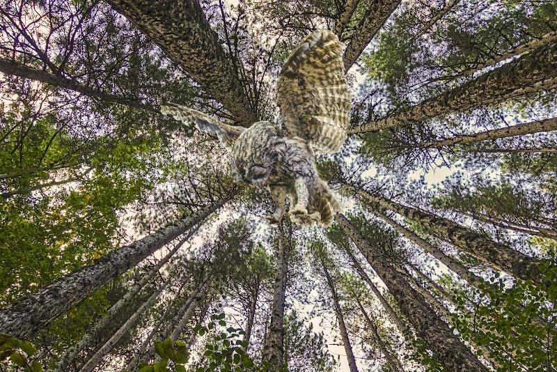 Il volo del rapace in una cornice boschiva  di lugiube