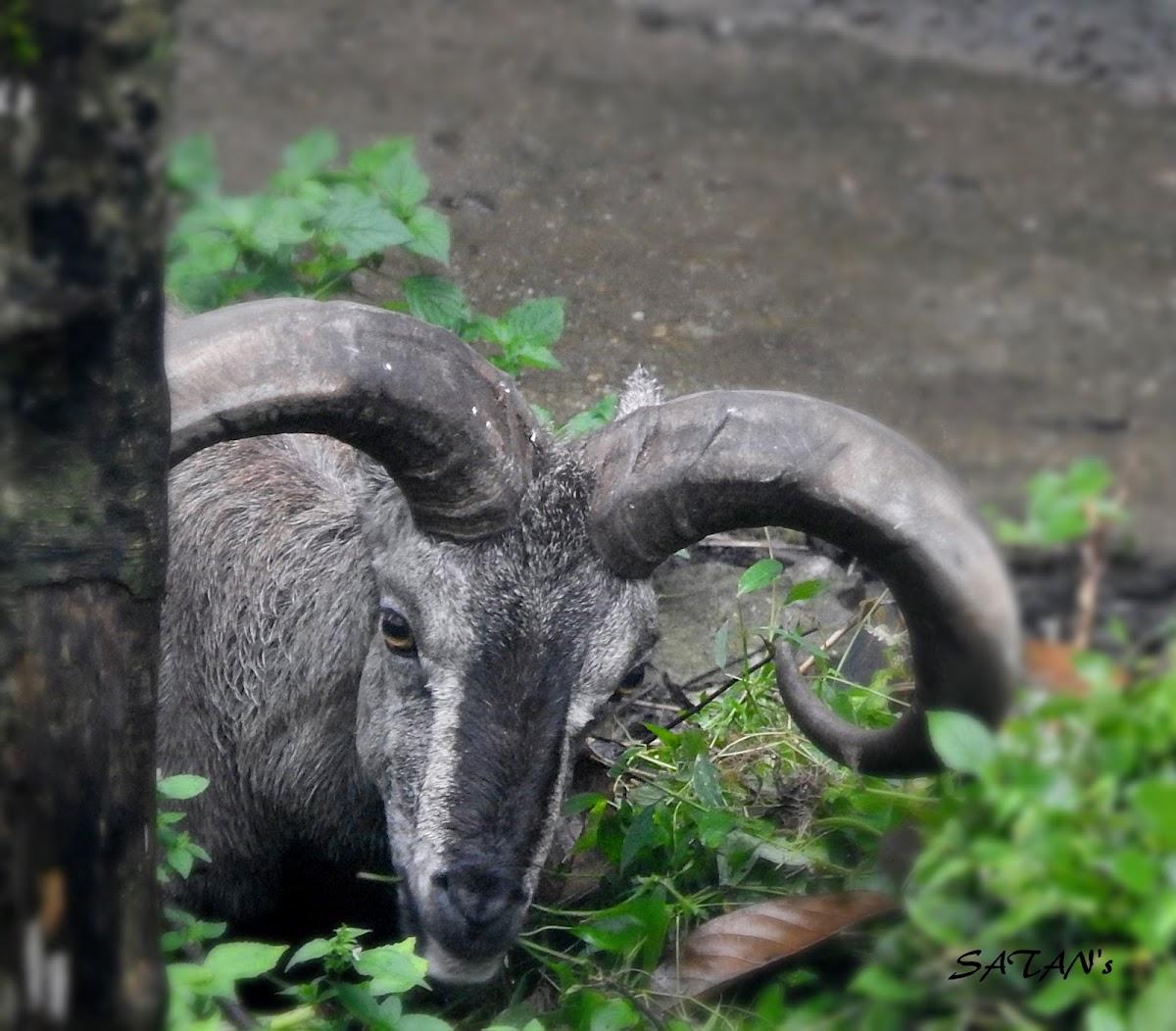 Bharal - Blue Sheep