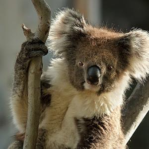 Koala 29012012.jpg
