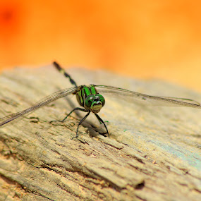 Dragonfly by Agunk Setiajaty - Animals Insects & Spiders