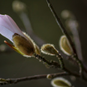 Blossoming buds by Louise Corr - Flowers Flower Buds ( buds blossom flower )