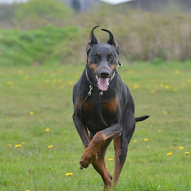 Diesel our Dobie by Les Reynolds Amanda Whichello - Animals - Dogs Playing ( beautiful, dobermann, dog, running,  )