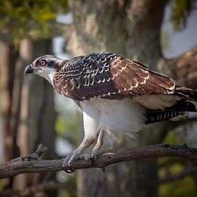 Oosprey Preflight by Don Holland - Animals Birds