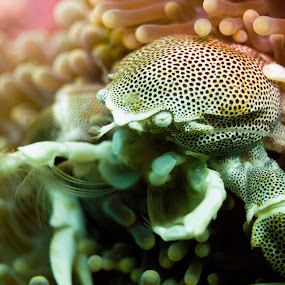Porcelain Crab by Daniel Sasse - Animals Sea Creatures ( marine, marinelife, plongee, ao nang, underwater, ecosystem, thailand, krabi, photography, scuba, buceo, tauchen, diving, eco, biology )
