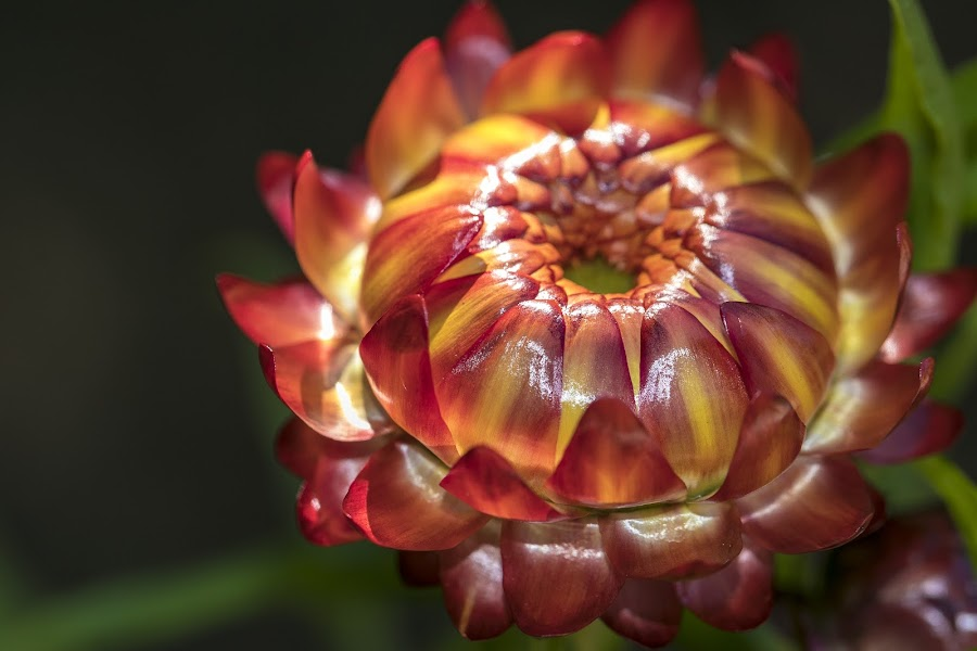 Sunset captured as a flower by Clarissa Human - Flowers Single Flower ( plant, red and yellow, garden, flower, colours,  )