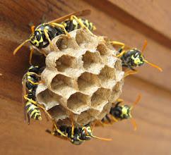 Photo: Haus-Feldwespen (Polistes dominula), auch Gallische Feldwespen genannt, beim Nest. Einige Zellen sind mit Eiern besetzt. Aufnahmedatum 8. Juli 2015