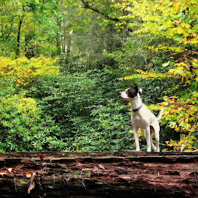 Tyson on a hike by Evah Banova - Animals - Dogs Portraits ( mountain, wood, nature, pet, fall, trees, bridge, dog, pwc84, mutt, hike, , Free, Freedom, Inspire, Inspiring, Inspirational, Emotion, #GARYFONGPETS, #SHOWUSYOURPETS )