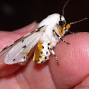 Salt Marsh Tiger Moth