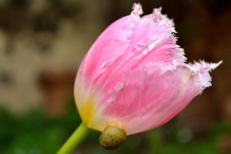 la delicatezza del tulipano di vicky.serra.90