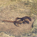 Eastern Newts - Mating