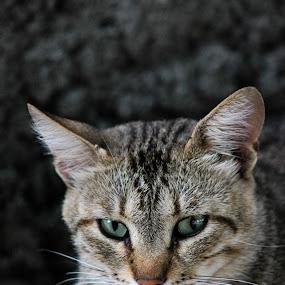 random cat by Rarees Juganaru - Animals - Cats Portraits ( canon 550d random cat photo )