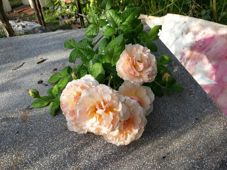 Một chùm hoa hồng Haiku Romatica rose với hơn 10 bông