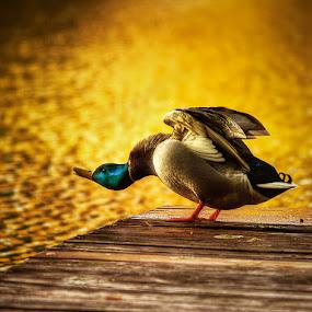 Morning yoga II by Zsolt Zsigmond - Animals Birds ( bird, hdr, duck, sunrise, morning, yoga, light, goly,  )