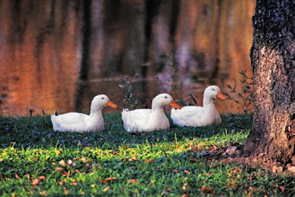 Photo: All your ducks in a row. Photo taken at a small pond in Holland Township, NJ  Entry for #whattheduckmonday curated by +Phil Armishaw   and a Monday morning greeting to everyone at the #breakfastclub curated by +Stuart Williams and the #breakfastartclub curated by +Charles Lupica