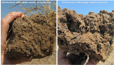 Photo: Comparison of structure in April between adjacent plots of silt loam soil with or without a forage radish cover crop.