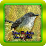 Suara Masteran Burung Ciblek