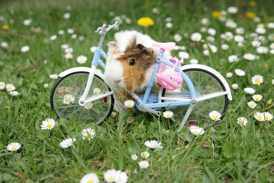 how much exercise does a guinea pig need