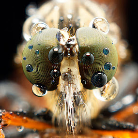 Robber fly by Abgtamz Ally - Animals Insects & Spiders ( pwcinsectsandspiders, pwcinsects, pwcinsects&spiders )