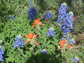 Photo: bluebonnet (eine Lupinienart) Landesblumen von Texas * bluebonnet the Texas state flower