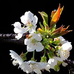 Hello Spring by Vladimir Krizan - Flowers Tree Blossoms