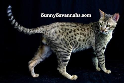 How do I choose a Savannah kitten? - Sunny Savannahs