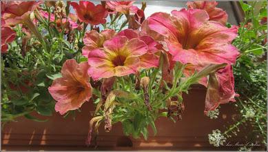 Photo: Petunii (Petunia x hybrida) - din Turda, de pe Str. Basarabiei - 2018.06.16