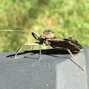 Assassin Bug/Wheel Bug