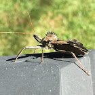 Assassin Bug/Wheel Bug