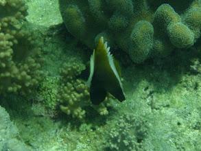 Photo: Heniochus varius  (Humphead Heniochus), Panglao Island, Philippines