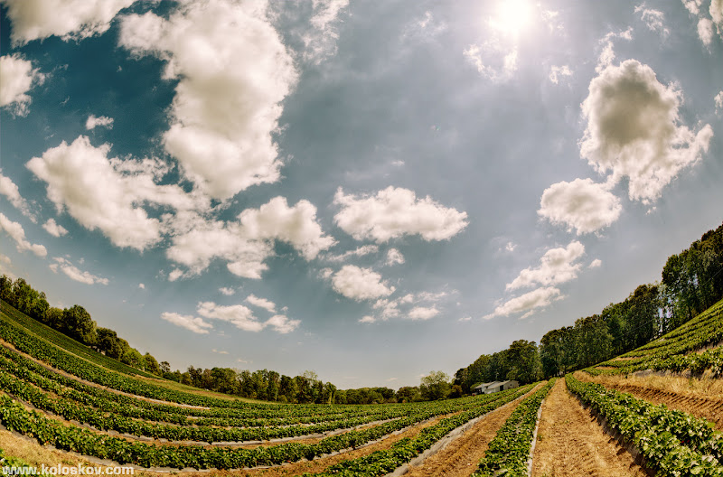 Photo: The Strawberry Farm  This is a place where we had fun few days ago. 3 RAW exposures HDR to capture that extra dynamic range from a fisheye lens. As you see, that was a shot against the sun.  We also tuned it a little to make less realistic in Nik ColorEfex filter. Enjoy the sun!