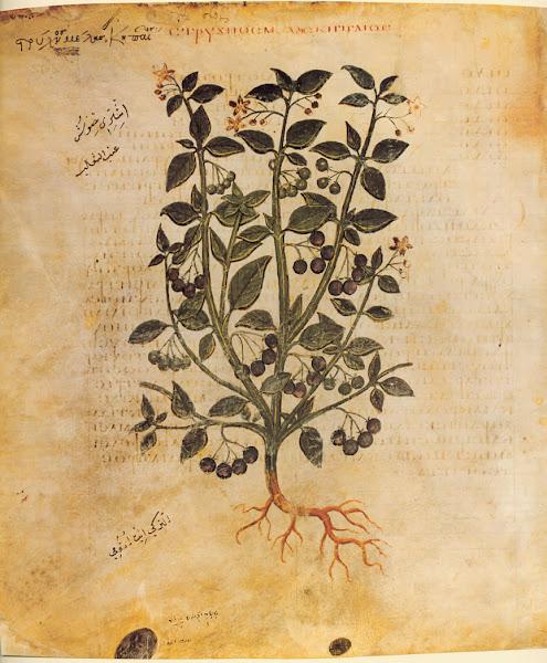 Photo: Solanum nigrum: Black Nightshade