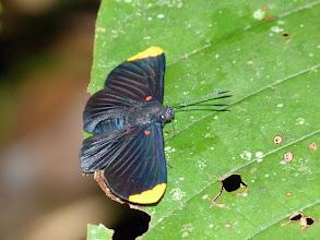 Photo: SMITH'S PIXIE--melanis smithiae xarifa--EL CAPRICHO TRAIL