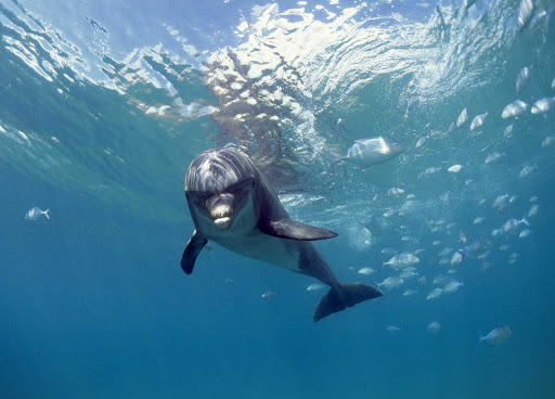 Tahiti-scuba-dolphin.jpg - Get a different view of marine life while cruising in Tahiti.