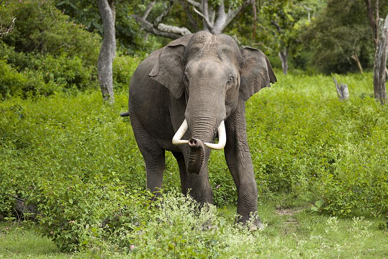Indian elephant standing in lush greenery