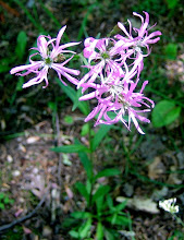 Photo: Ragged Robin 5.29
