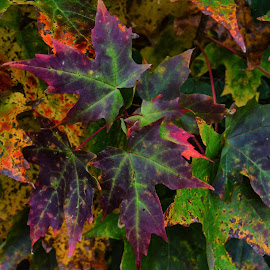 maple leaves by Lisa Holden - Nature Up Close Trees & Bushes ( maple tree, purple, autumn, green, fall,  )