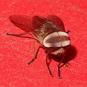 Oriental horsefly
