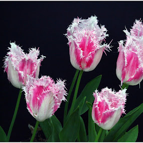 Frilly Tulips by Deleted Deleted - Flowers Flowers in the Wild
