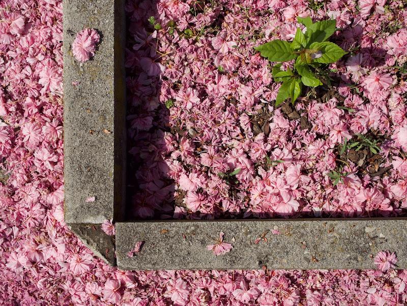 Fiori rosa giù.... di gaspare_aita