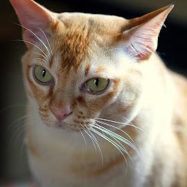 Tom by Caroline Beaumont - Animals - Cats Portraits ( burmese cat )