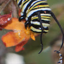 Monarch Caterpillar with insect hitchhikers